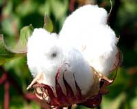 Bangladesh-must-strengthen-cotton-production-to-reach